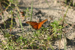 Orange Gulf fritillary butterfly. On plants in sand Royalty Free Stock Images