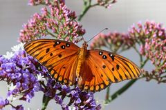 Orange Gulf Fritillary butterfly on purple flowers. Orange butterfly Gulf Fritillary on purple sea foam blossoms, with pink buds in the background. In Arizona`s stock image