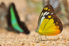 Orange gull butterfly. Of thailand background Royalty Free Stock Images