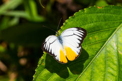 Orange Gull butterfly Stock Photos
