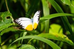Orange Gull butterfly Stock Image