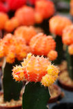Orange Gymnocalycium mihanovichii Das Hobby, das mit vielen des Sprösslingskaktus im Kindertagesstättengarten für Verkauf im Gart Lizenzfreies Stockbild