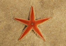 Orange hårkamsjöstjärnaöverblick på sand - Astropecten sp arkivbild