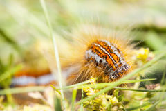 Orange hairy caterpillar Royalty Free Stock Photo