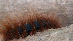 Orange hairy caterpillar Stock Photo