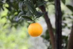 Orange hanging on a branch Stock Image
