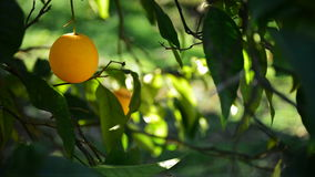 Orange hanging in branch. Oranges hanging in a branch stock video