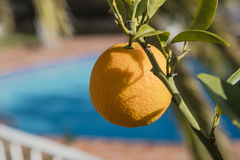 Orange hanging from an orange tree Royalty Free Stock Photography