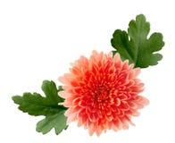 Orange Hardy Mum. Orange  hardy mum flower isolated on white background Royalty Free Stock Photography