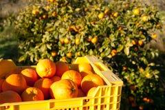 Orange harvest stock photo