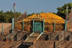 Orange harvest. An orange harvest in a farm Royalty Free Stock Images