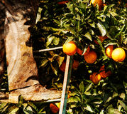 Orange Harvest Stock Images