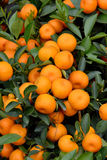 Orange harvest on trees Royalty Free Stock Image