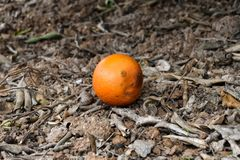 Angry orange looking for an excuse royalty free stock image