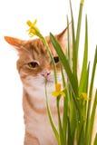 Orange Hauskatze und Narzissen Lizenzfreie Stockfotografie