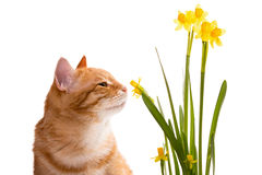 Orange Hauskatze und Narzissen Stockfoto