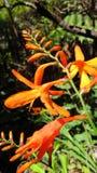 Orange Hawaiian Flowers. Orange flowers in Big Island, Hawaii stock photos