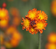 Orange Hawkweed Bud Royalty Free Stock Photography