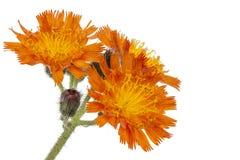 Orange Hawkweed Flower Stock Image