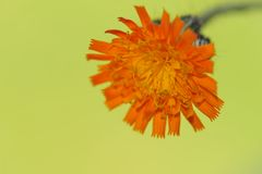 Orange Hawkweed flower oder Pilosella aurantiaca Royalty Free Stock Images