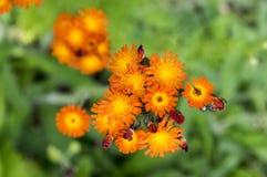 Orange Hawkweed flowers in bloom Royalty Free Stock Photography