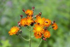 Orange Hawkweed flowers in bloom Stock Image