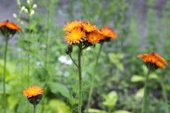 Orange Hawkweed flowers in bloom Stock Photography