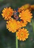Orange Hawkweed or Fox-and-Cubs Stock Image