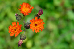 Orange Hawkweed (Hieracium aurantiacum) blüht Nahaufnahme Stockfotos