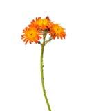 Orange hawkweed (Hieracium aurantiacum) Stock Photos