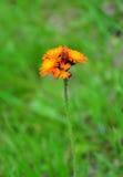 Orange hawkweed (Hieracium aurantiacum) Stock Image