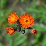 Orange Hawkweed (Hieracium aurantiacum) Flower Detail Stock Photo