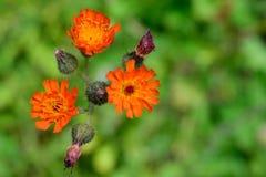 Orange Hawkweed (Hieracium aurantiacum) Flowers Closeup Stock Photos