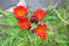 Orange Hawkweed Stock Photos