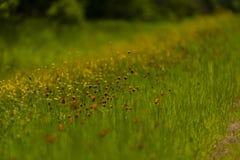 Orange hawkweed i nordliga Wisconsin arkivbilder