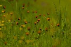 Orange hawkweed i nordliga Wisconsin arkivfoto