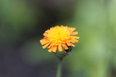 Orange hawkweed Pilosella aurantiaca Stock Image