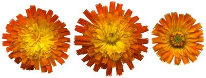 Orange Hawkweedblomningar Royaltyfria Foton