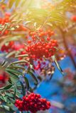 Orange hawthorn bunch under the sunlight. Hawthorn is a curative plant. Its leaves, berries and flowers are used to make medicine stock photography