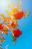 Orange hawthorn bunch under the sunlight. Hawthorn is a curative plant. Its leaves, berries and flowers are used to make medicine royalty free stock photography