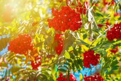 Orange hawthorn bunch under the sunlight. Hawthorn is a curative plant. Its leaves, berries and flowers are used to make medicine stock images