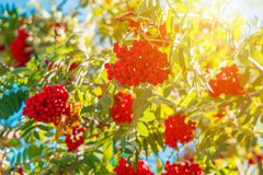 Orange hawthorn bunch under the sunlight. Hawthorn is a curative plant. Its leaves, berries and flowers are used to make medicine stock photo