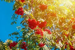 Orange hawthorn bunch under the sunlight. Hawthorn is a curative plant. Its leaves, berries and flowers are used to make medicine royalty free stock photos