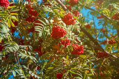 Orange hawthorn bunch under the sunlight. Hawthorn is a curative plant. Its leaves, berries and flowers are used to make medicine royalty free stock photo