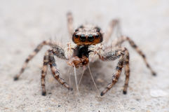 The orange head jumping spider Stock Photography