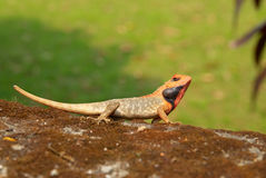 Orange-headed agama. On the soft green grass background Royalty Free Stock Images