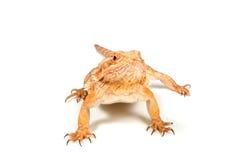 Orange headed bearded dragon (pogona vitticeps). Isolated on white royalty free stock photo