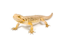 Orange headed bearded dragon (pogona vitticeps). Isolated on white stock image