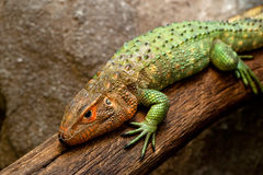 Orange headed lizard Royalty Free Stock Photos