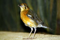Orange headed thrush Royalty Free Stock Image